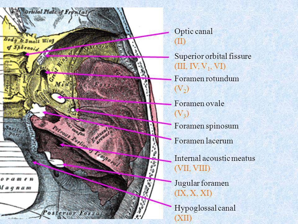 Superior orbital fissure (III, IV, V 1, VI) Foramen rotundum (V 2 ) Foramen ovale (V 3 ) Foramen spinosum Foramen lacerum Internal acoustic meatus (VI