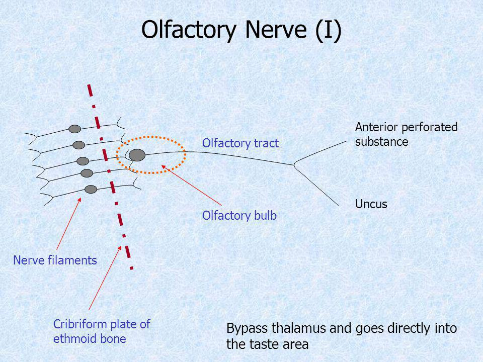 Olfactory Nerve (I) Olfactory bulb Olfactory tract Anterior perforated substance Uncus Bypass thalamus and goes directly into the taste area Nerve fil