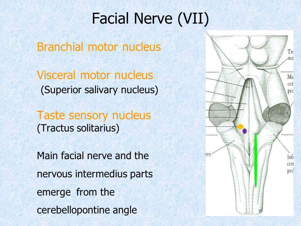 Facial Nerve (VII) Branchial motor nucleus Visceral motor nucleus (Superior salivary nucleus) Taste sensory nucleus (Tractus solitarius) Main facial n