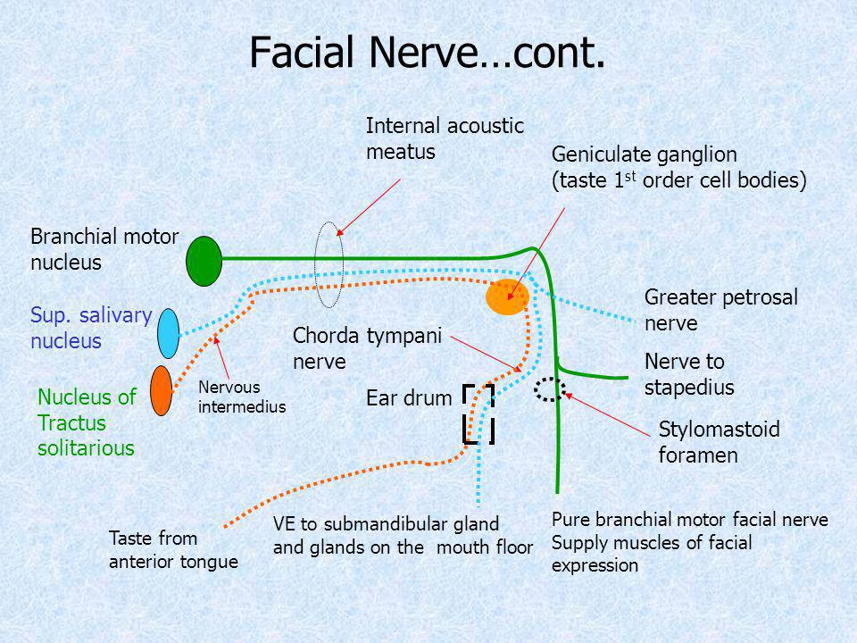 Geniculate ganglion (taste 1 st order cell bodies) Nucleus of Tractus solitarious Chorda tympani nerve Taste from anterior tongue Nervous intermedius