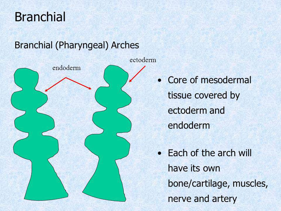 Branchial (Pharyngeal) Arches Core of mesodermal tissue covered by ectoderm and endoderm Each of the arch will have its own bone/cartilage, muscles, n
