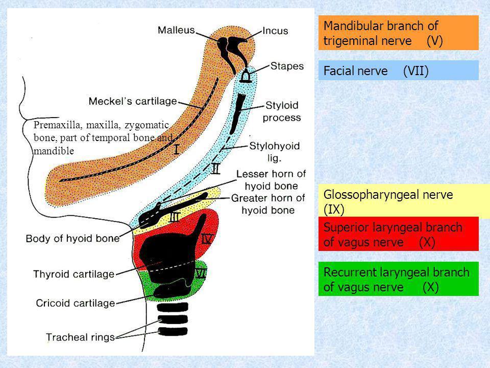 Premaxilla, maxilla, zygomatic bone, part of temporal bone and mandible Mandibular branch of trigeminal nerve (V) Facial nerve (VII) Glossopharyngeal