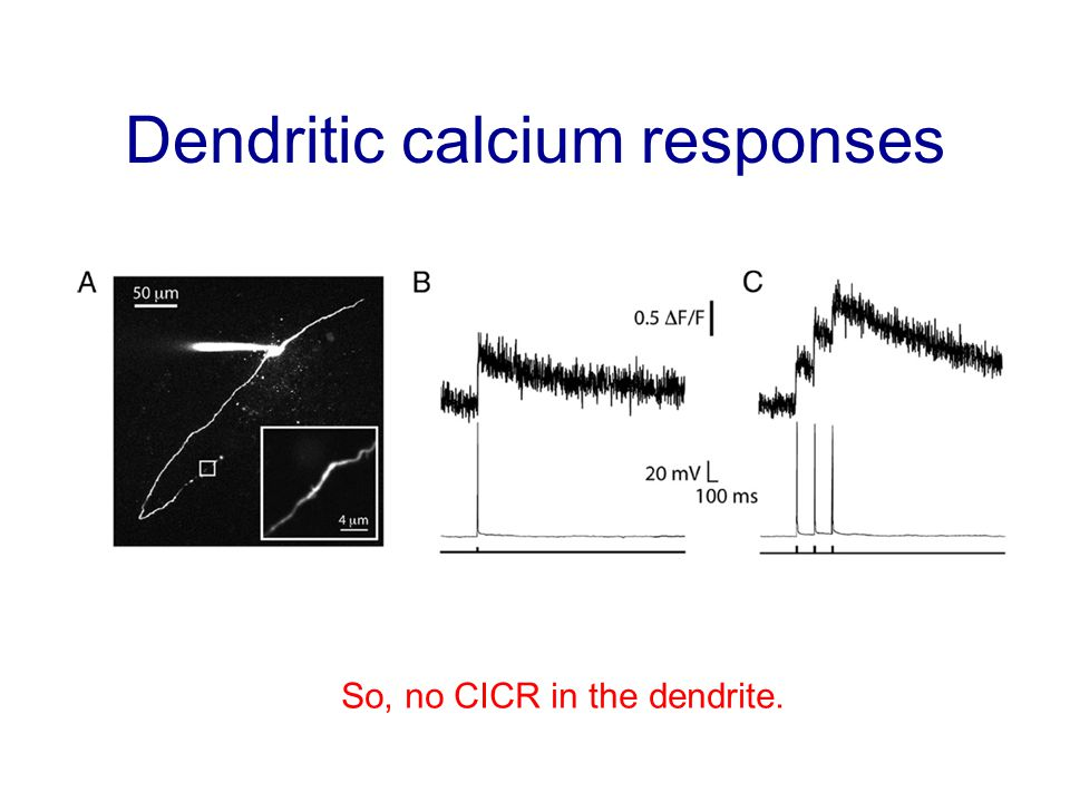 Dendritic calcium responses So, no CICR in the dendrite.