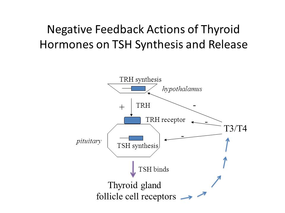 Negative Feedback Actions of Thyroid Hormones on TSH Synthesis and Release hypothalamus TRH TRH receptor TSH synthesis pituitary T3/T4 + - - - TRH syn