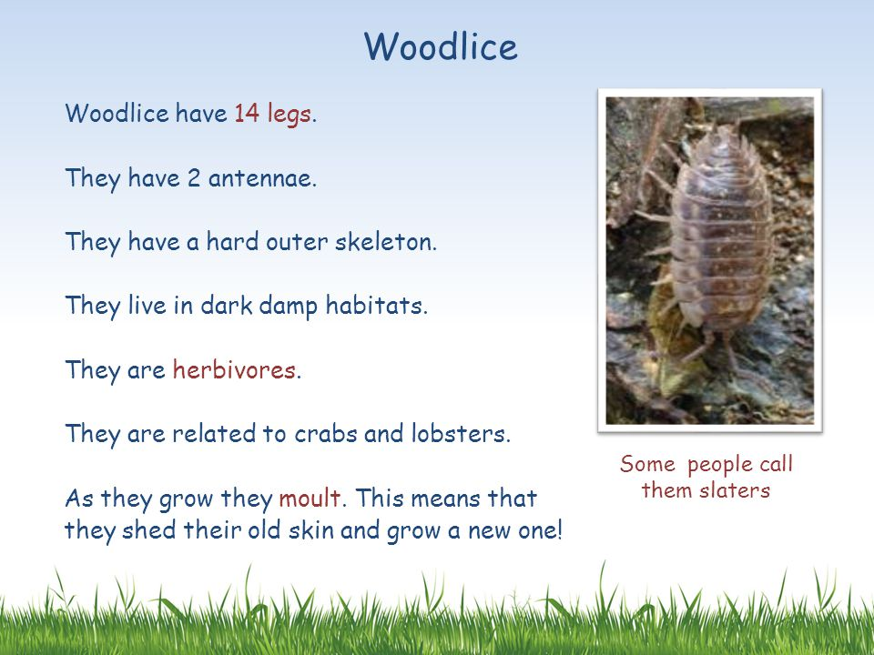 Woodlice Woodlice have 14 legs. They have 2 antennae. They have a hard outer skeleton. They live in dark damp habitats. They are herbivores. They are