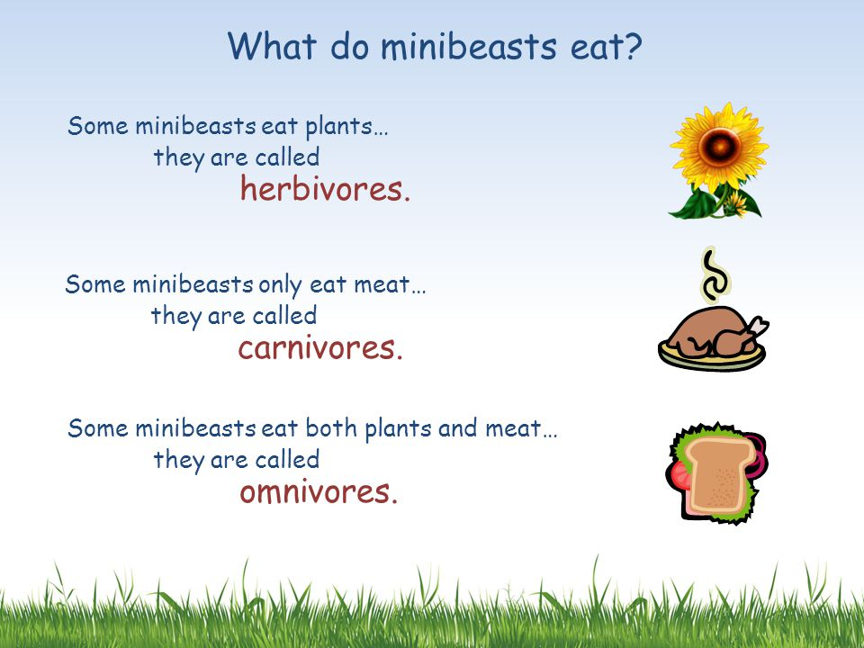What do minibeasts eat? Some minibeasts eat plants… they are called herbivores. Some minibeasts only eat meat… they are called carnivores. Some minibe