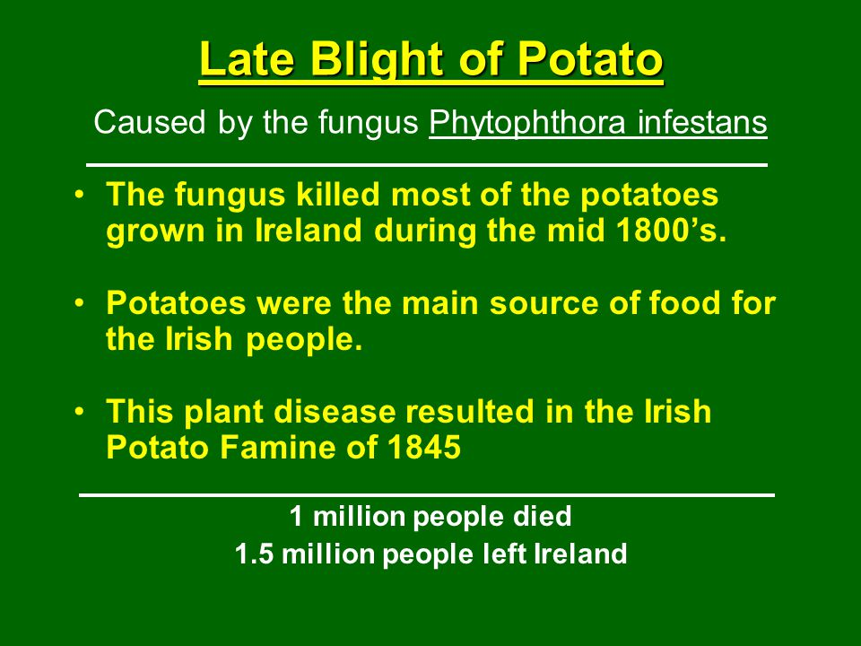 Late Blight of Potato Late Blight of Potato Caused by the fungus Phytophthora infestans The fungus killed most of the potatoes grown in Ireland during