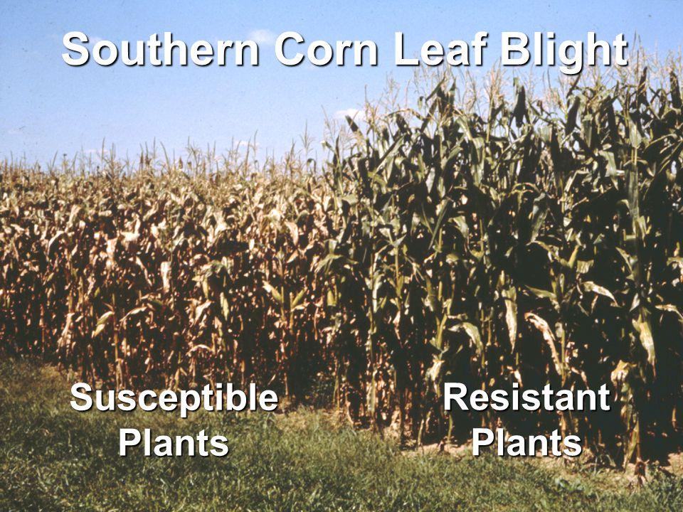 Southern Corn Leaf Blight SusceptiblePlants ResistantPlants