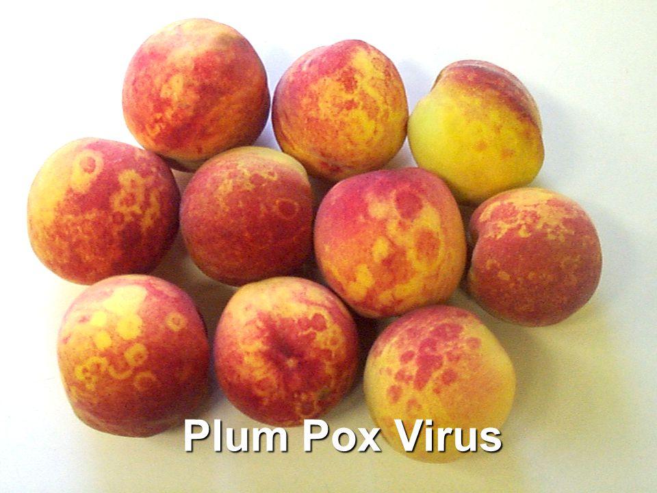 Plum Pox Virus