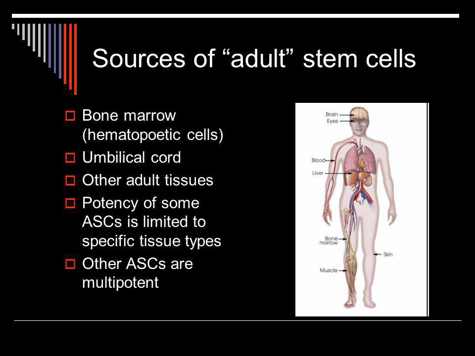 Sources of adult stem cells  Bone marrow (hematopoetic cells)  Umbilical cord  Other adult tissues  Potency of some ASCs is limited to specific tissue types  Other ASCs are multipotent