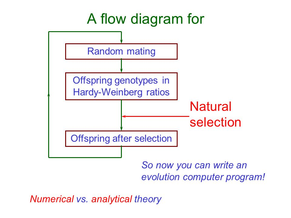 A flow diagram for Random mating Offspring genotypes in Hardy-Weinberg ratios Offspring after selection Natural selection So now you can write an evolution computer program.