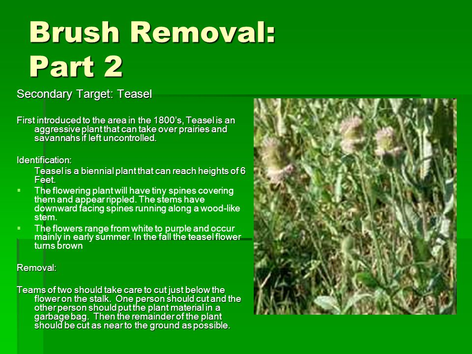 Brush Removal: Part 2 Secondary Target: Teasel First introduced to the area in the 1800's, Teasel is an aggressive plant that can take over prairies and savannahs if left uncontrolled.