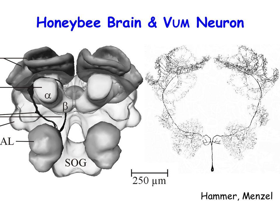 Honeybee Brain & V UM Neuron Hammer, Menzel