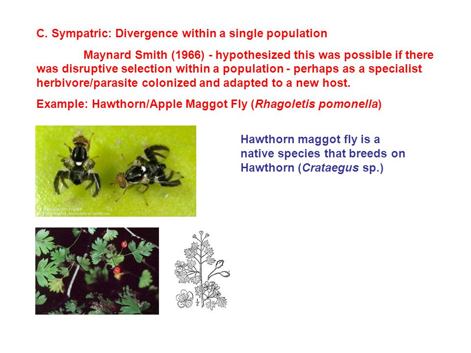 C. Sympatric: Divergence within a single population Maynard Smith (1966) - hypothesized this was possible if there was disruptive selection within a p