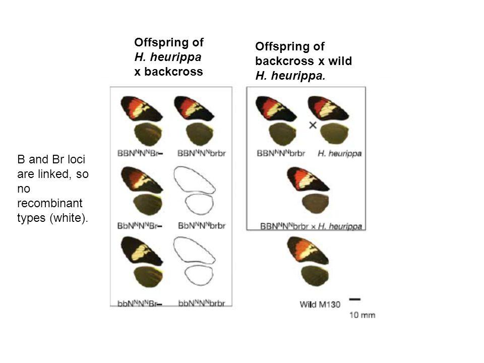 Offspring of H. heurippa x backcross Offspring of backcross x wild H.