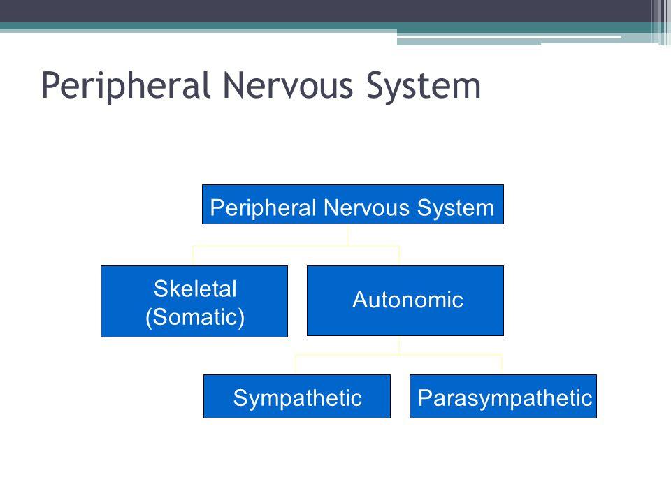 Peripheral Nervous System Skeletal (Somatic) SympatheticParasympathetic Autonomic Peripheral Nervous System