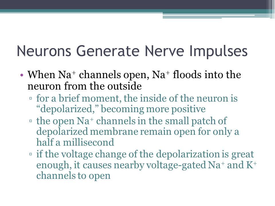 Neurons Generate Nerve Impulses When Na + channels open, Na + floods into the neuron from the outside ▫for a brief moment, the inside of the neuron is
