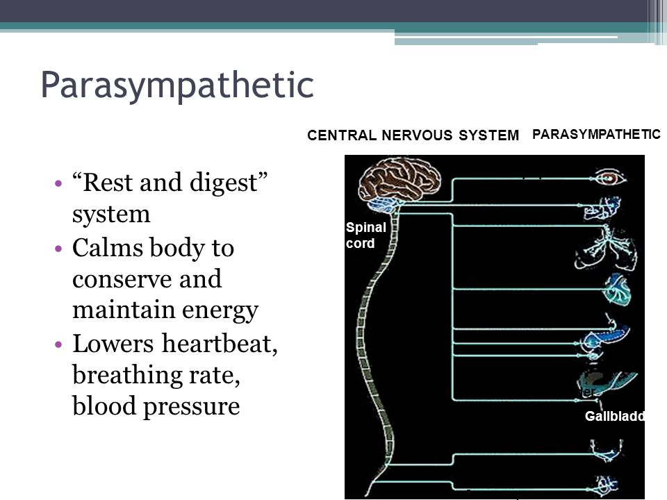 """Parasympathetic """"Rest and digest"""" system Calms body to conserve and maintain energy Lowers heartbeat, breathing rate, blood pressure CENTRAL NERVOUS S"""
