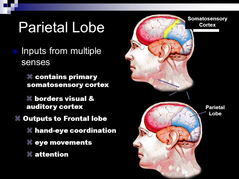 Parietal Lobe Parietal Lobe Inputs from multiple senses z contains primary somatosensory cortex z borders visual & auditory cortex z Outputs to Fronta
