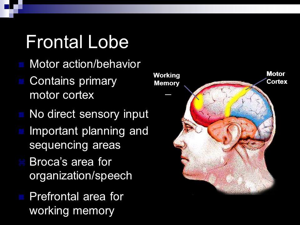 Frontal Lobe Frontal Lobe Motor action/behavior Contains primary motor cortex Motor Cortex Motor Cortex Broca's Area Motor Cortex Working Memory No di