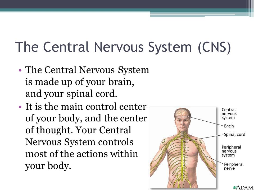 The Central Nervous System (CNS) The Central Nervous System is made up of your brain, and your spinal cord. It is the main control center of your body