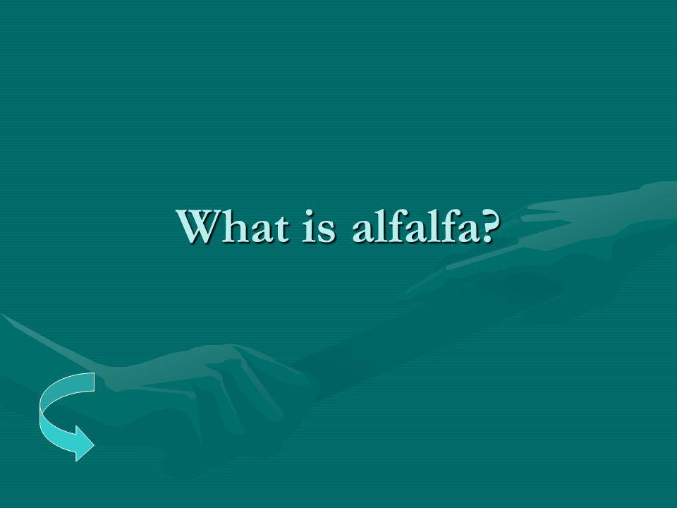 What is alfalfa?