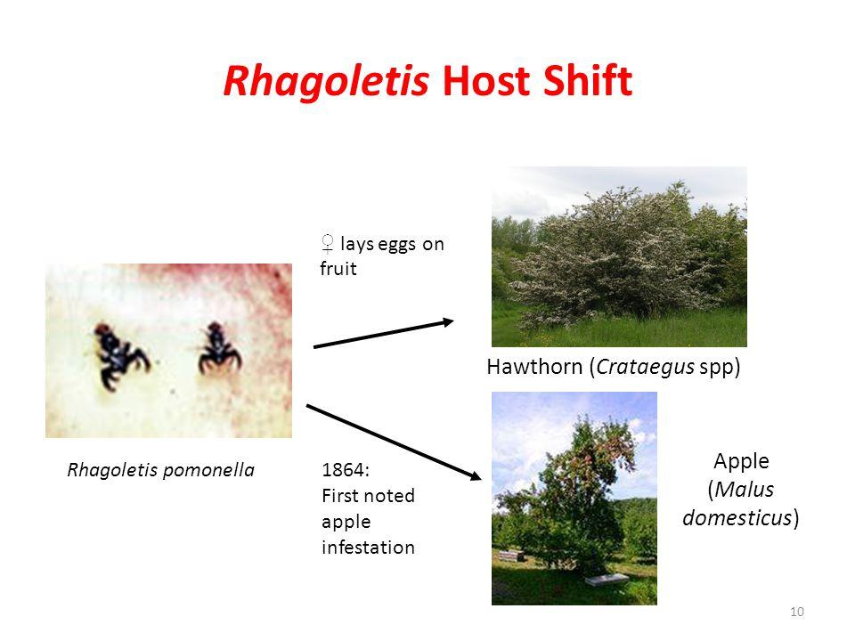 Rhagoletis Host Shift Rhagoletis pomonella Hawthorn (Crataegus spp) ♀ lays eggs on fruit 1864: First noted apple infestation Apple (Malus domesticus)
