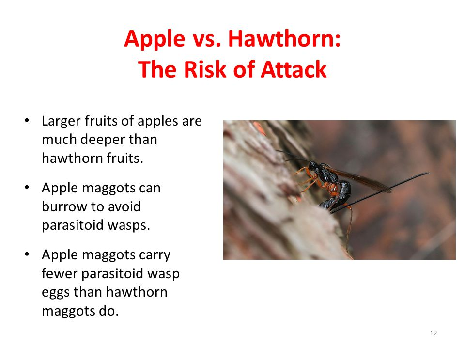 Apple vs. Hawthorn: The Risk of Attack Larger fruits of apples are much deeper than hawthorn fruits. Apple maggots can burrow to avoid parasitoid wasp