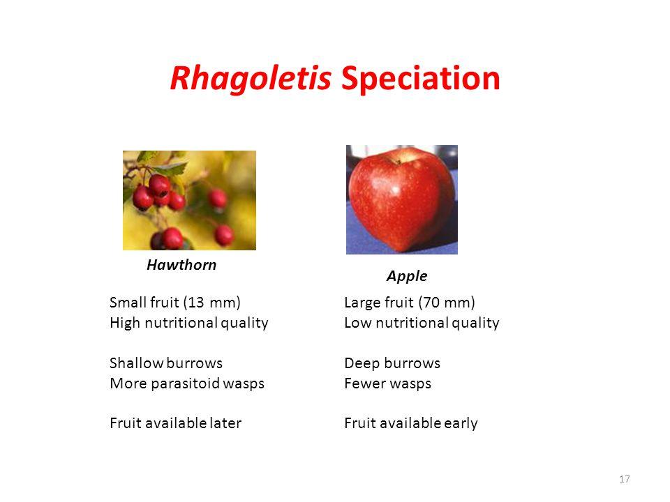 Rhagoletis Speciation Small fruit (13 mm)Large fruit (70 mm) High nutritional qualityLow nutritional quality Shallow burrowsDeep burrows More parasito