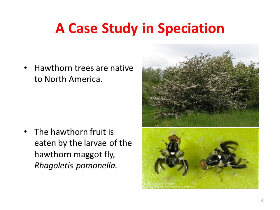 A Case Study in Speciation Hawthorn trees are native to North America. The hawthorn fruit is eaten by the larvae of the hawthorn maggot fly, Rhagoleti
