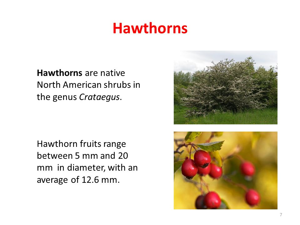 Hawthorns Hawthorns are native North American shrubs in the genus Crataegus. Hawthorn fruits range between 5 mm and 20 mm in diameter, with an average
