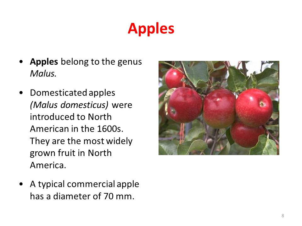 Apples Apples belong to the genus Malus. Domesticated apples (Malus domesticus) were introduced to North American in the 1600s. They are the most wide