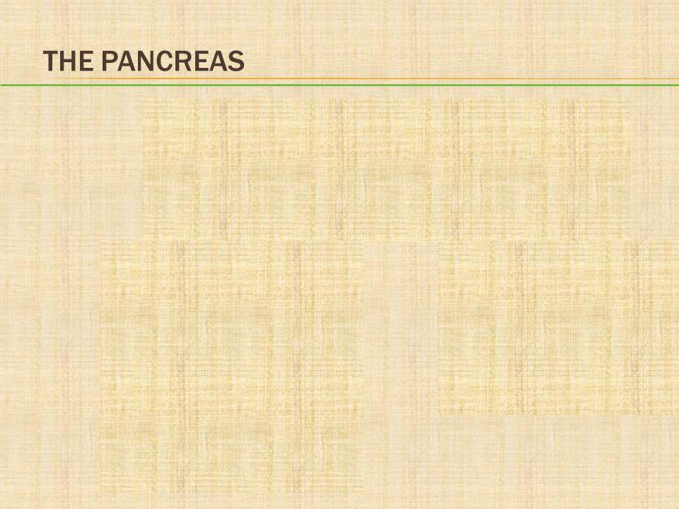 endocrine pancreas: islets of Langerhans alpha cells beta cells delta cellsPP cells pancreatic polypeptide glucagon insulin and amylin somatostatin