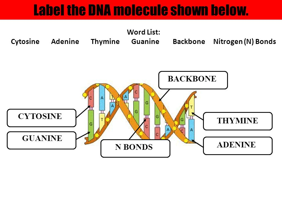 Label the DNA molecule shown below. BACKBONE ADENINE THYMINE N BONDS CYTOSINE GUANINE Word List: Cytosine Adenine Thymine Guanine Backbone Nitrogen (N