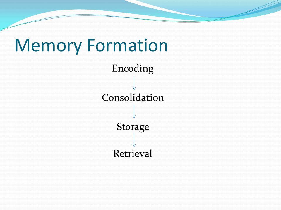 Memory Formation Encoding Consolidation Storage Retrieval
