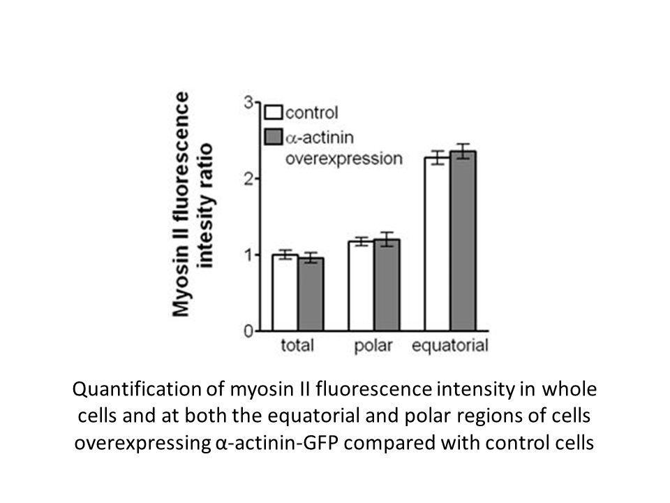 Quantification of myosin II fluorescence intensity in whole cells and at both the equatorial and polar regions of cells overexpressing α-actinin-GFP compared with control cells