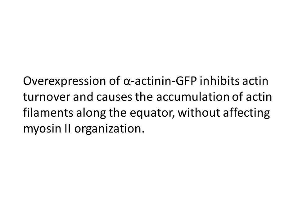 Overexpression of α-actinin-GFP inhibits actin turnover and causes the accumulation of actin filaments along the equator, without affecting myosin II