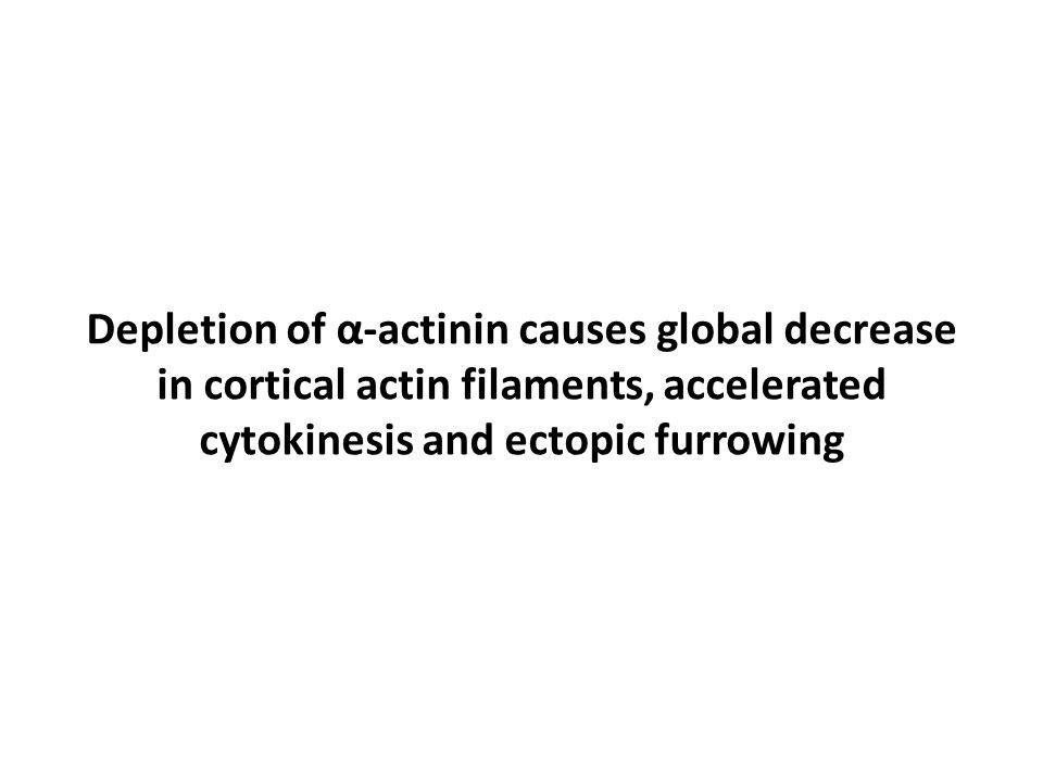Depletion of α-actinin causes global decrease in cortical actin filaments, accelerated cytokinesis and ectopic furrowing