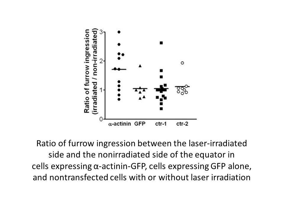 Ratio of furrow ingression between the laser-irradiated side and the nonirradiated side of the equator in cells expressing α-actinin-GFP, cells expressing GFP alone, and nontransfected cells with or without laser irradiation