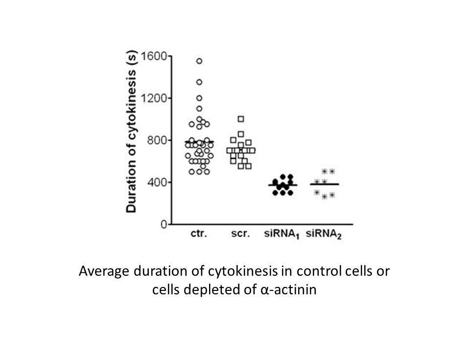 Average duration of cytokinesis in control cells or cells depleted of α-actinin