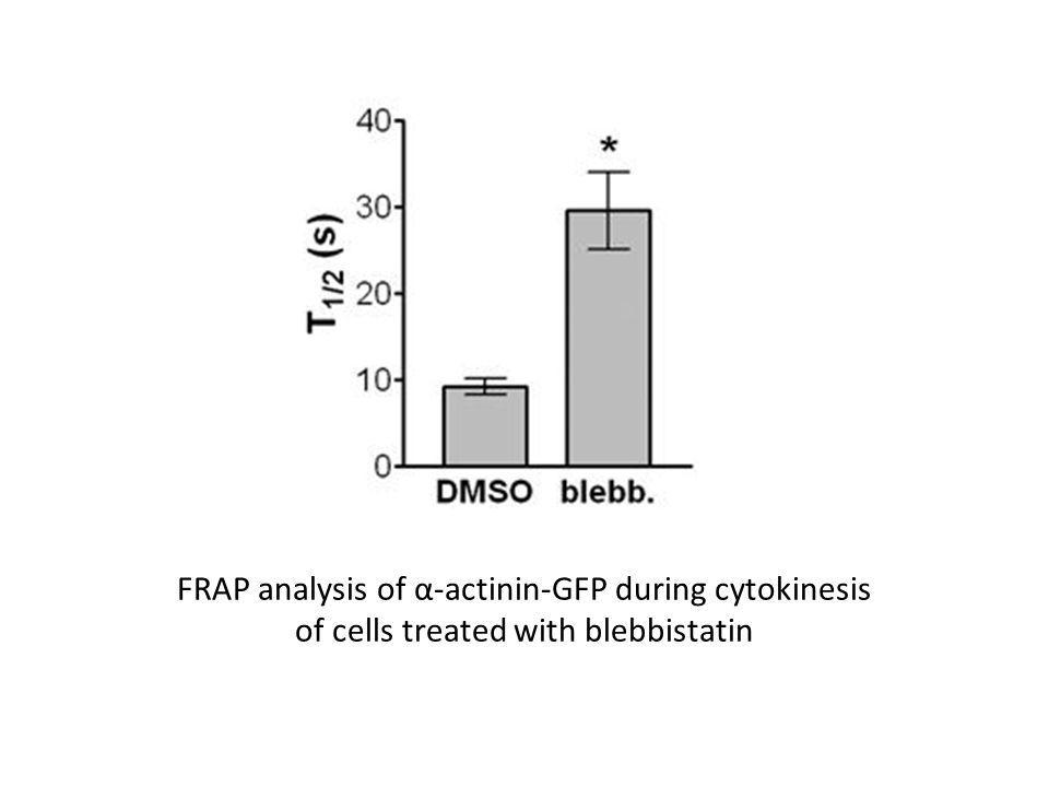 FRAP analysis of α-actinin-GFP during cytokinesis of cells treated with blebbistatin