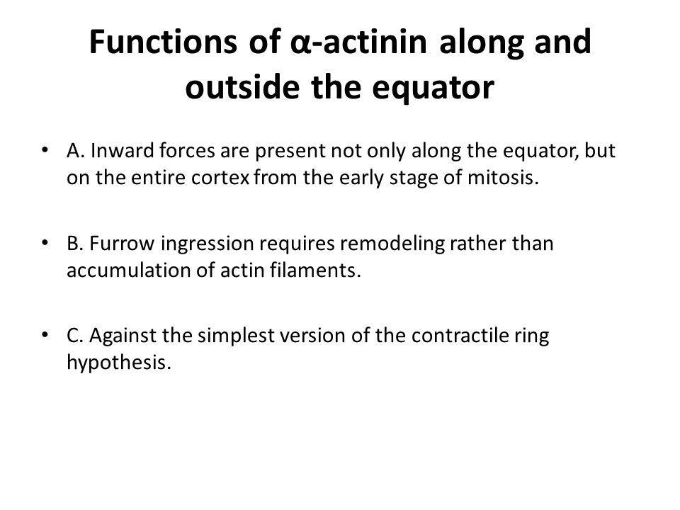 Functions of α-actinin along and outside the equator A.