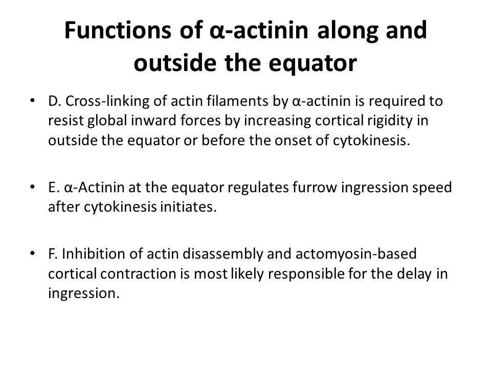 Functions of α-actinin along and outside the equator D. Cross-linking of actin filaments by α-actinin is required to resist global inward forces by in