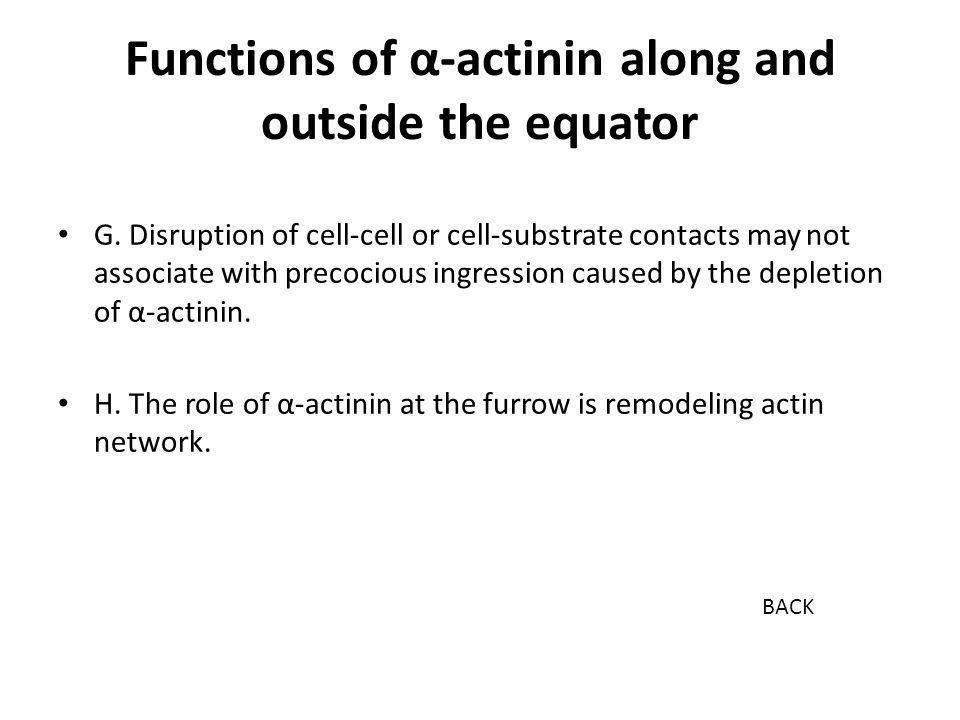 Functions of α-actinin along and outside the equator G. Disruption of cell-cell or cell-substrate contacts may not associate with precocious ingressio