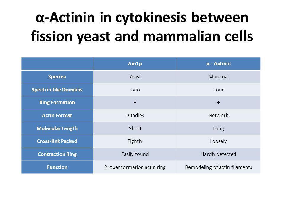 α-Actinin in cytokinesis between fission yeast and mammalian cells Ain1pα - Actinin SpeciesYeastMammal Spectrin-like DomainsTwoFour Ring Formation++ Actin FormatBundlesNetwork Molecular LengthShortLong Cross-link PackedTightlyLoosely Contraction RingEasily foundHardly detected FunctionProper formation actin ringRemodeling of actin filaments