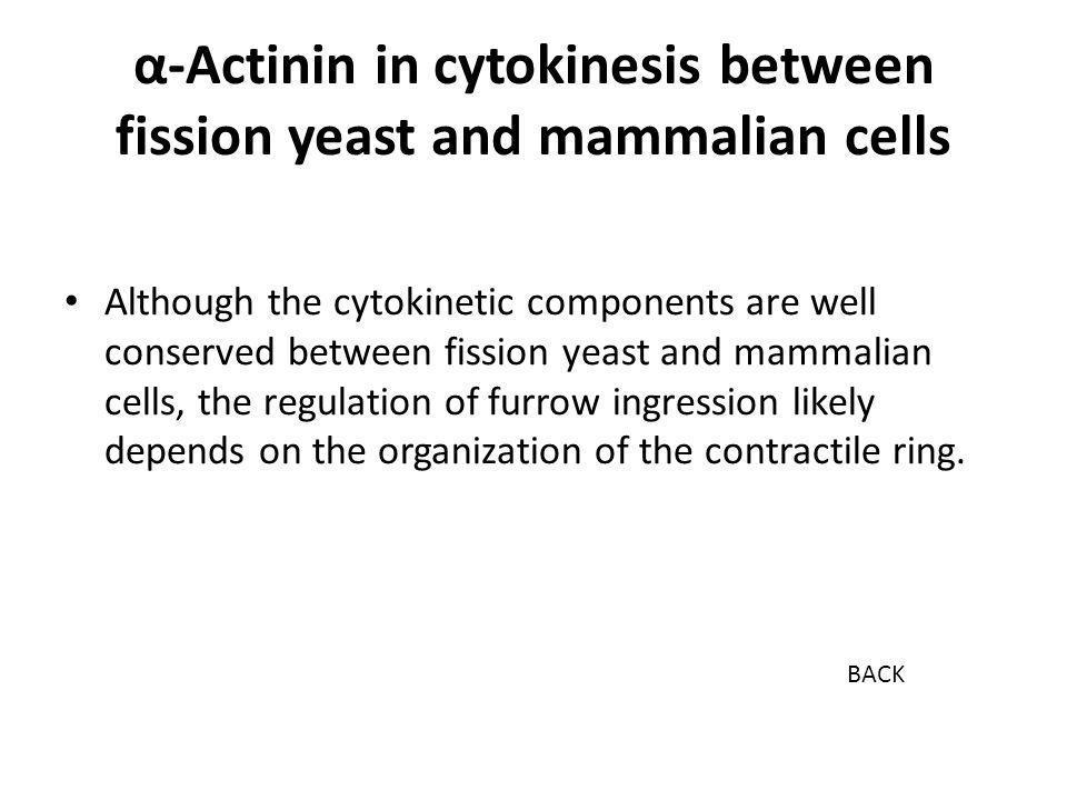 α-Actinin in cytokinesis between fission yeast and mammalian cells Although the cytokinetic components are well conserved between fission yeast and mammalian cells, the regulation of furrow ingression likely depends on the organization of the contractile ring.