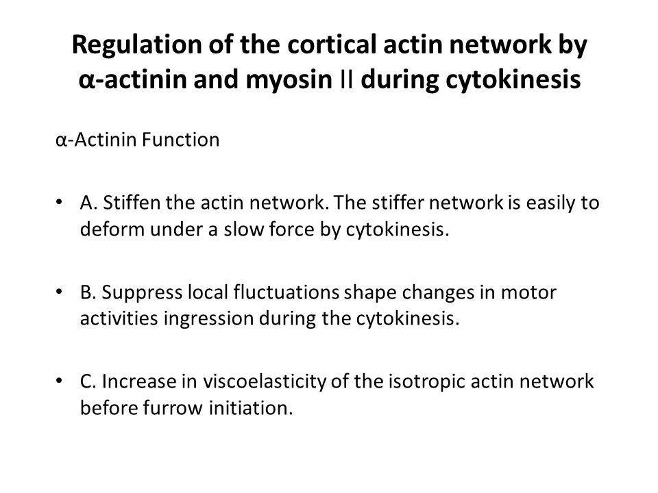 Regulation of the cortical actin network by α-actinin and myosin II during cytokinesis α-Actinin Function A. Stiffen the actin network. The stiffer ne