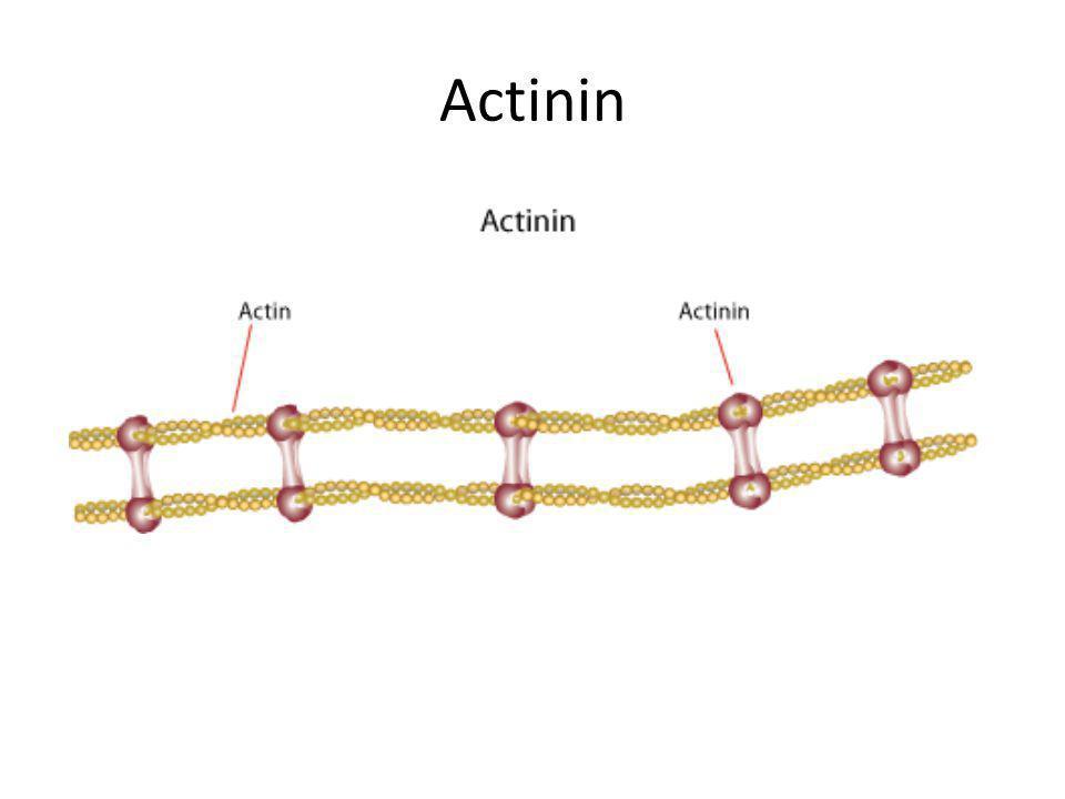 Actinin