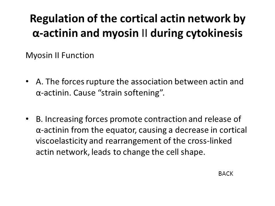 """Myosin II Function A. The forces rupture the association between actin and α-actinin. Cause """"strain softening"""". B. Increasing forces promote contracti"""