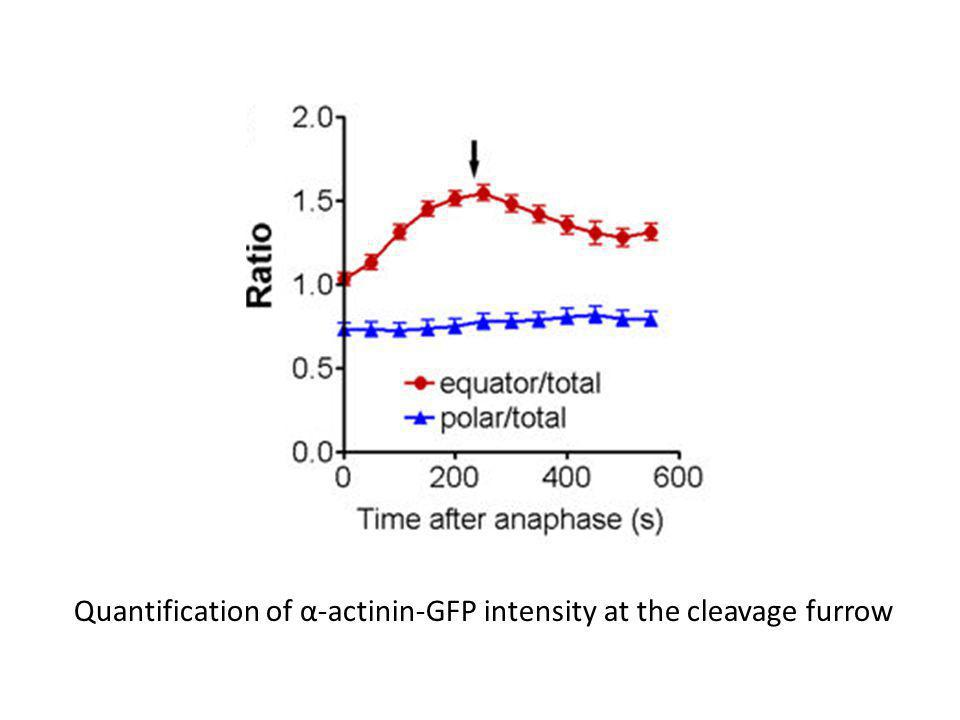 Quantification of α-actinin-GFP intensity at the cleavage furrow